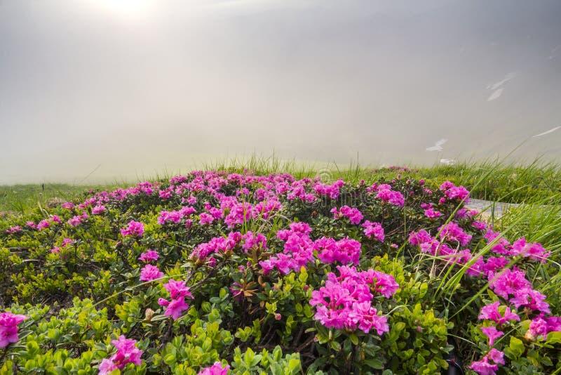 Lit av solen som blommar lavishly på busken för rue för rhododendron för gräs- bergäng den täta med ljusa rosa färgblommor och gr arkivfoto