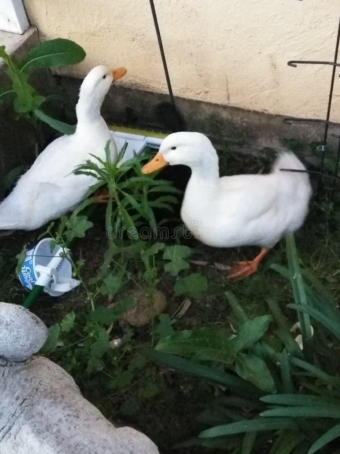 Lit de canard images libres de droits