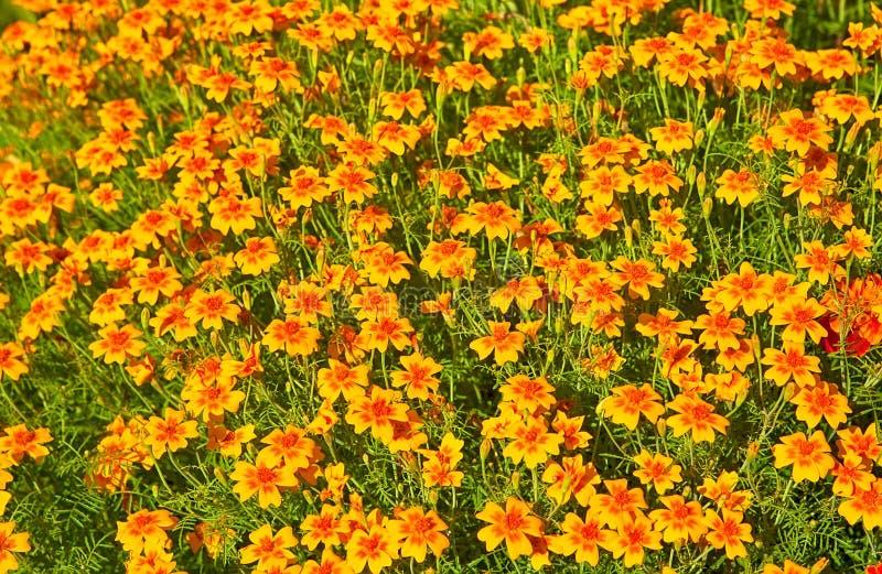 Lit de fleur avec élever des fleurs de Tagetes image stock