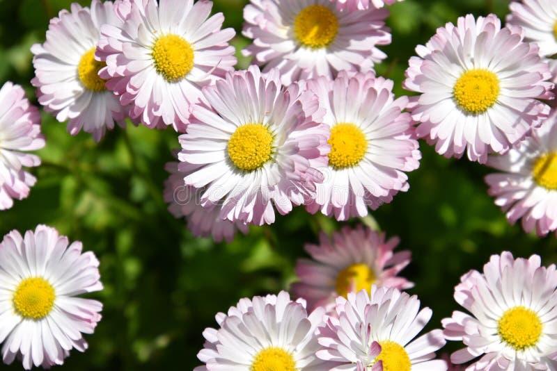 Lit de fleur avec de grandes marguerites roses photographie stock