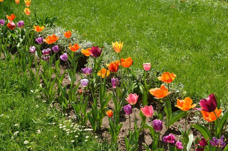 Lit de fleur avec les tulipes colorées photos libres de droits