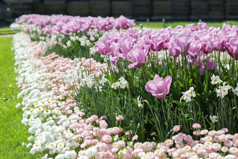 Lit de fleur avec les tulipes pourpres photo libre de droits