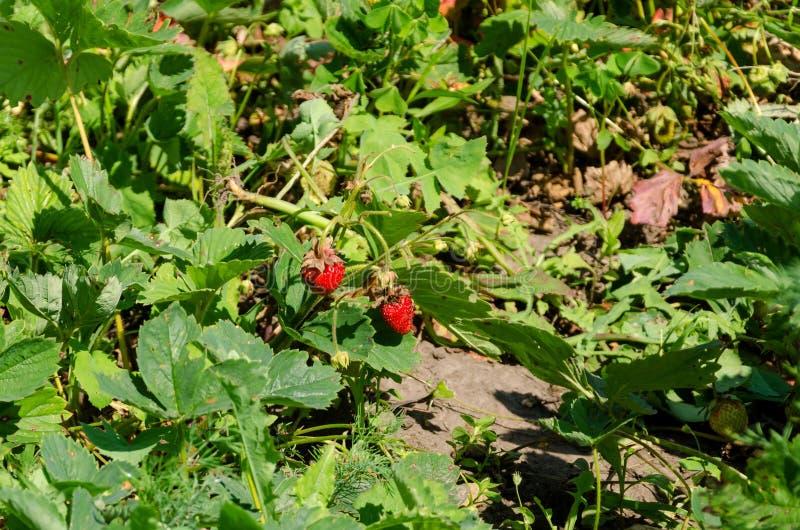 Lit de jardin avec des buissons de fraise photo stock