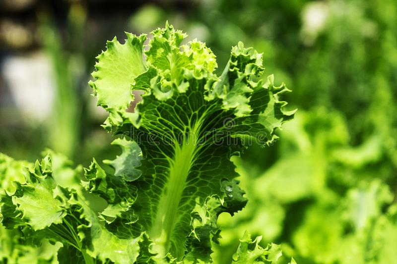 Lit de jardin avec de la salade, plan rapproché Lames fra?ches de laitue photographie stock