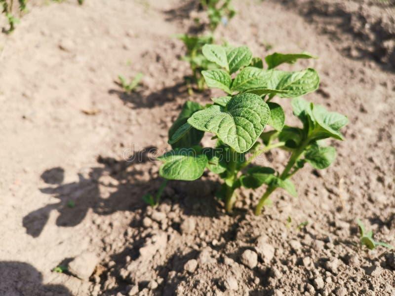 Lit de pomme de terre photos libres de droits