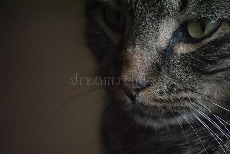 Lit duro Tabby Cat imagem de stock royalty free