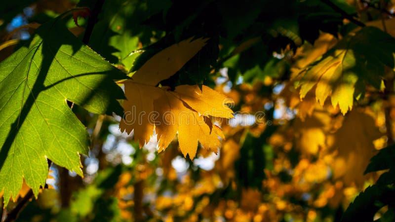 Lit jaune et vert de feuilles par des rayons de The Sun Fond coloré Autumn Golden Foliage image libre de droits