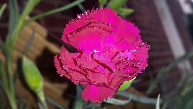 A lit up Dianthus caryophyllus royalty free stock photography