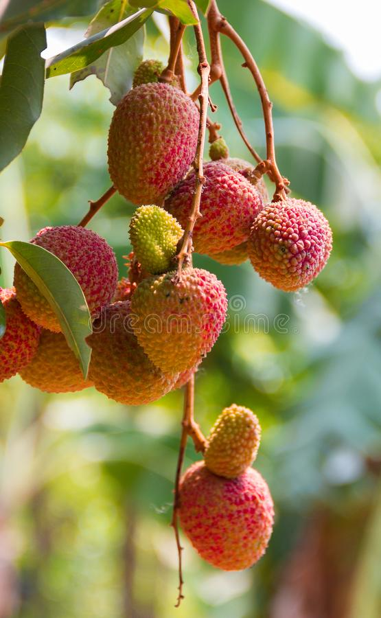 Litchi, nom scientifique de Lichi : Litchi Sonn chinensis Fruit dessus images libres de droits