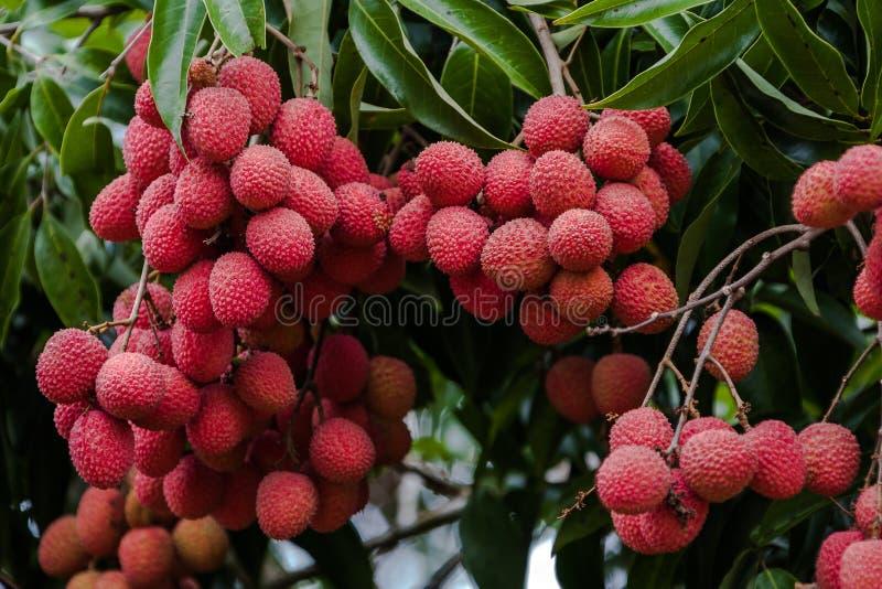 Litchiplommoner på träd royaltyfri bild