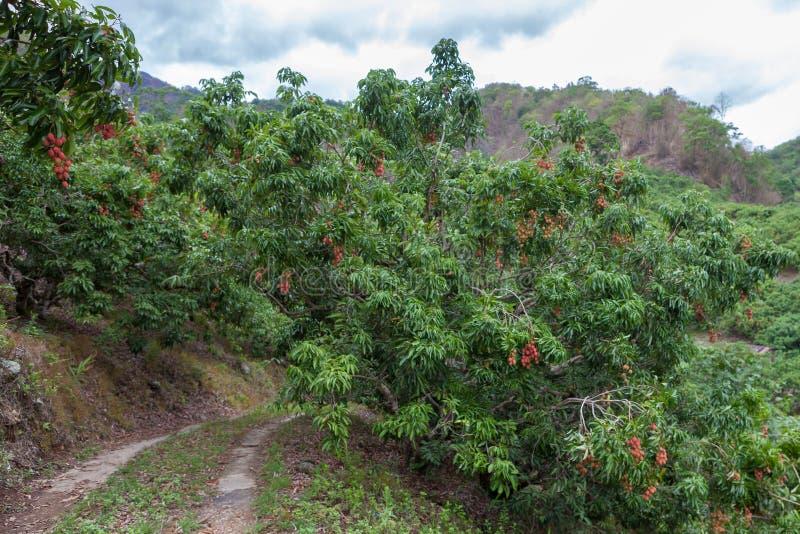 Litchiplommonträd med mogna nya frukter som hänger ner från trädfilialer arkivbild