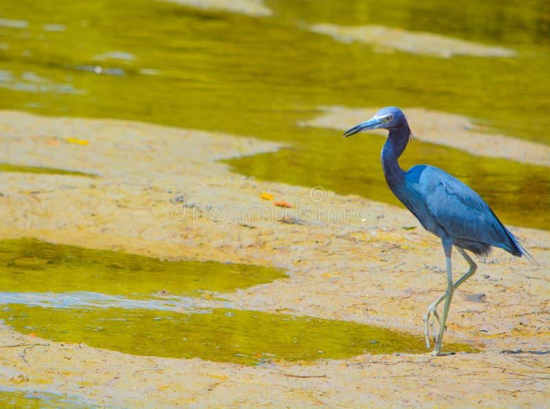 Lite blå hägerEgrettacaerulea på den vatten- reserven för citronfjärd i Cedar Point Environmental Park, Sarasota County Florida fotografering för bildbyråer