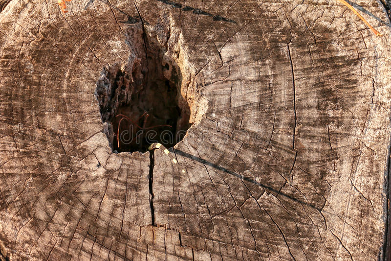 Lite bor vattenbildskärmen, som kallade den Varanus salvatoren, i ett trädhål arkivfoton