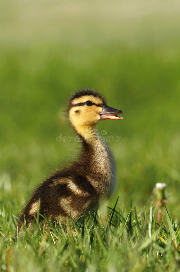 Lite duckling royaltyfri foto