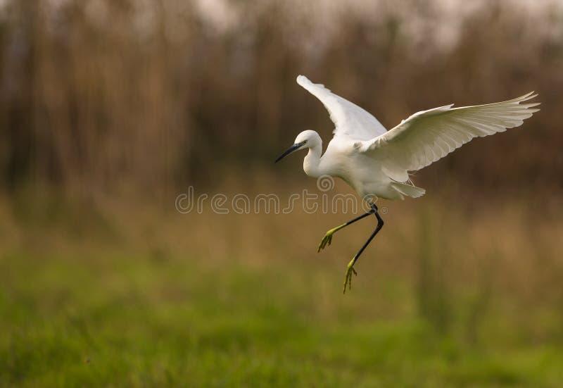 Lite Egret i flyg royaltyfri foto