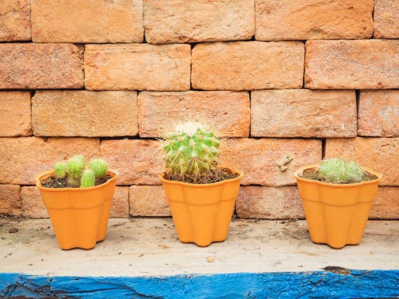 Lite kaktus i tre krukor royaltyfria foton