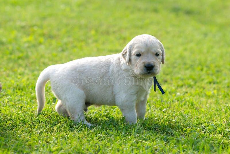 En lite retriever, labrador förföljer, retrievervalpen på grön gräsbakgrund, tätt upp arkivbild