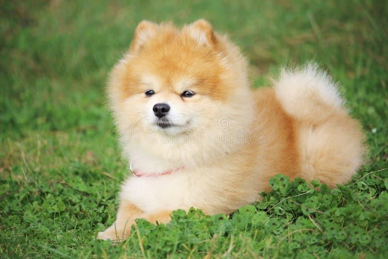 Lite ligger lyssnar den dvärg- spitzhunden i gräset och till hans avlägsna förlage royaltyfria bilder
