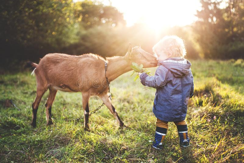 Lite litet barnpojke som utomhus matar en get på en äng på solnedgången royaltyfri bild