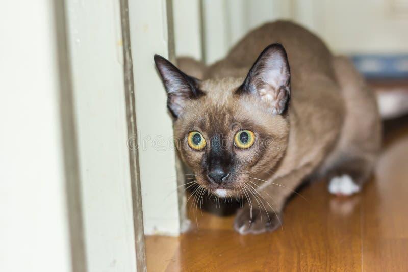 Lite manlig kontakt för öga för strimmig kattkatt liggande fotografering för bildbyråer