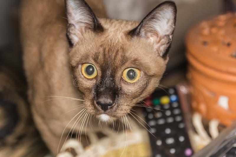 Lite manlig kontakt för öga för strimmig kattkatt liggande arkivbild