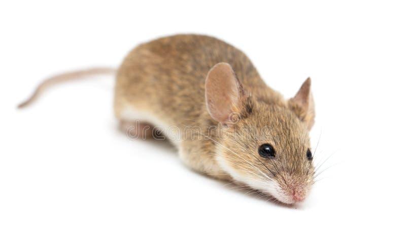 Lite mus som isoleras på en vit bakgrund arkivfoton