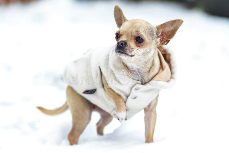 Lite påkläddchihuahua som går på snön royaltyfria bilder