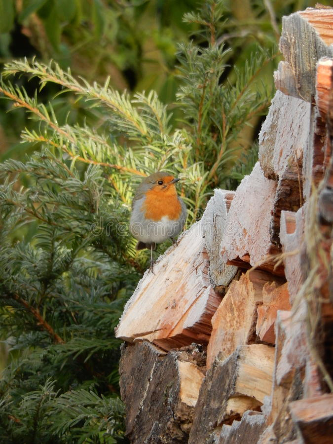 Lite rödhakefågel, när första frost kommer royaltyfri fotografi