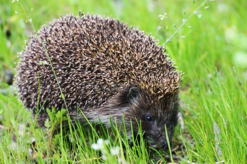 Lite söker efter den taggiga igelkotten mat på det gröna gräset för hans igelkott royaltyfri fotografi