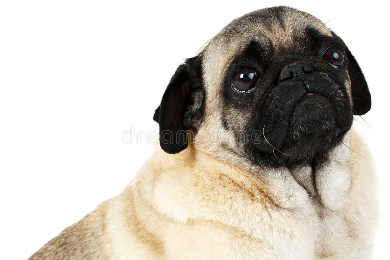 Lite ser mopshunden upp Isolerat på vit royaltyfri fotografi