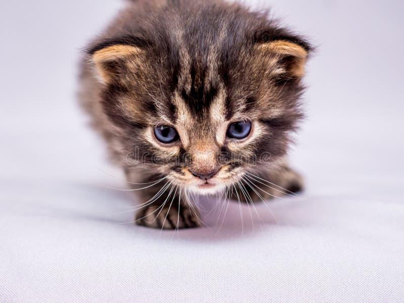 Lite smyga sig kattungen upp till fienden Rovdjur på jakt clo royaltyfri fotografi
