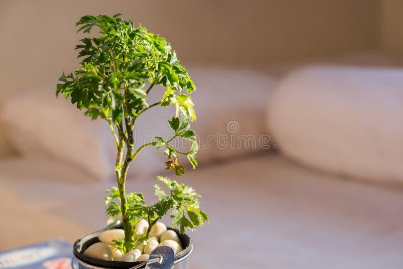 Lite träd i aluminiumkrukatillväxten under solljuset i den närliggande morgonen sängen i sovrummet Det har van vid dekorerar royaltyfria foton