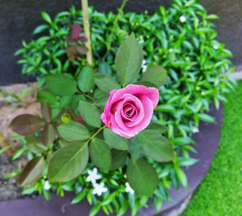 lite växer den nya rosa färgrosen royaltyfri foto