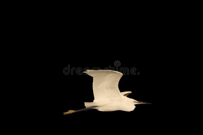 Liten ägretthäger i flykten som isoleras på svart royaltyfria foton