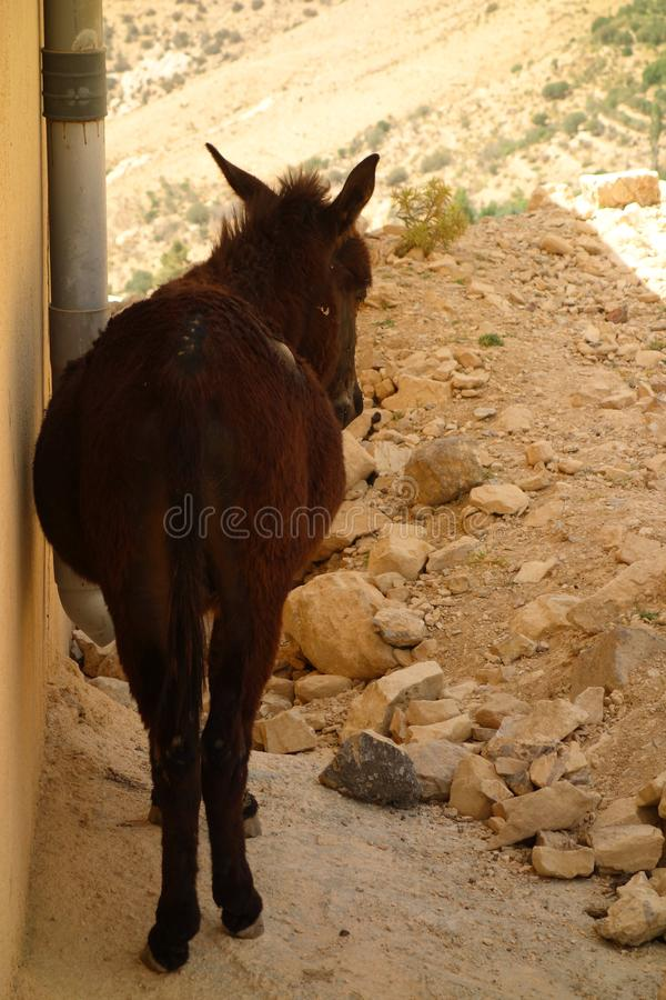 Liten åsna i Jordanien arkivfoto