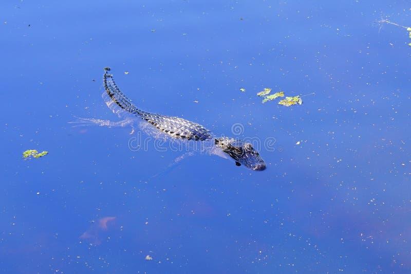 Liten alligator arkivbild