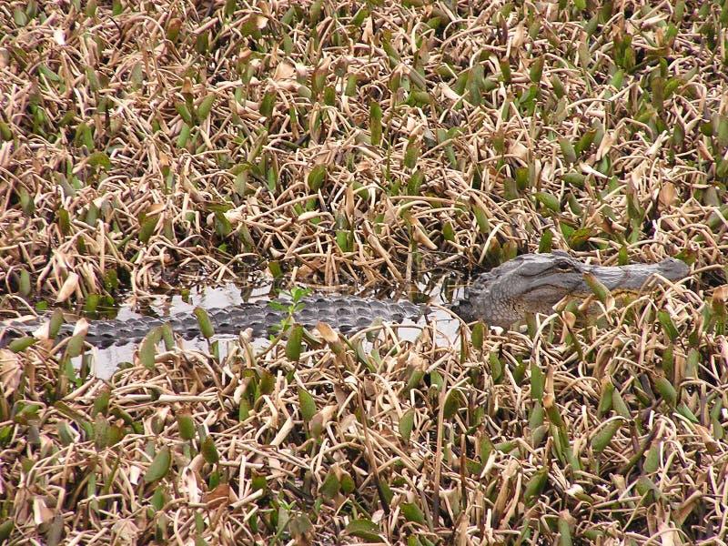 Liten alligator i träsk royaltyfria bilder