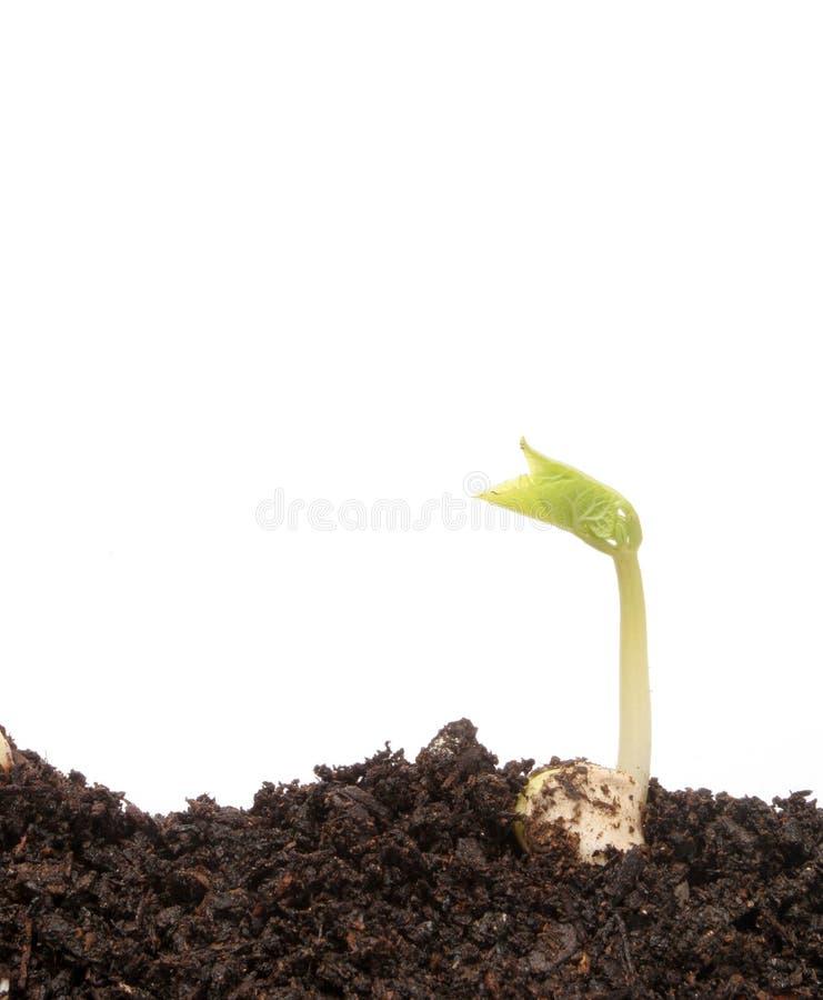 liten bönaplanta royaltyfria foton