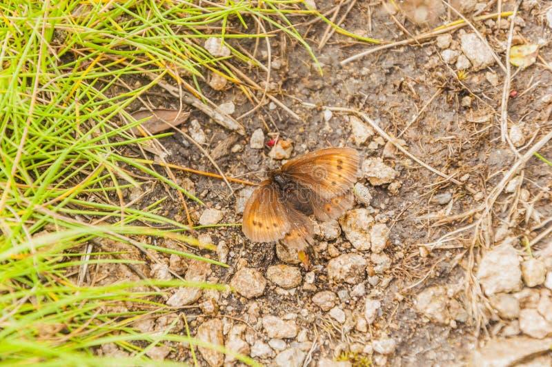 Liten berghårlock, berghårlock (Erebia epiphron) royaltyfria bilder