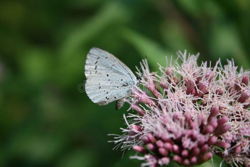 Liten blå fjäril: blå Celastrina för träd argiolus på rosa blommor royaltyfria bilder
