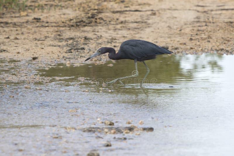 Liten blå häger som jagar fisken i grunt vatten royaltyfri fotografi