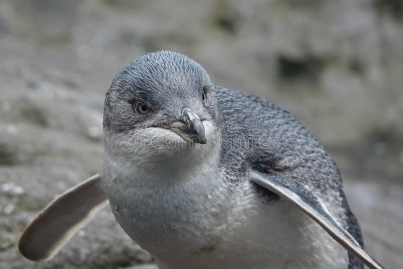Liten blå pingvin av Nya Zeeland arkivfoton