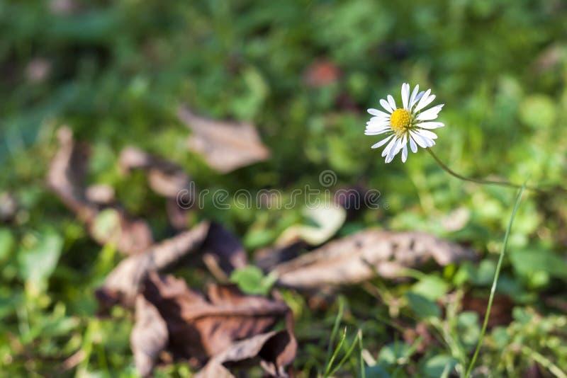Liten blomma för vit tusensköna i grönt gräs royaltyfri bild