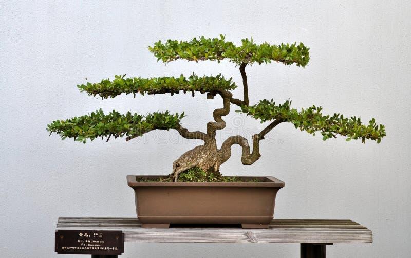 liten bonsaiboxwood fotografering för bildbyråer