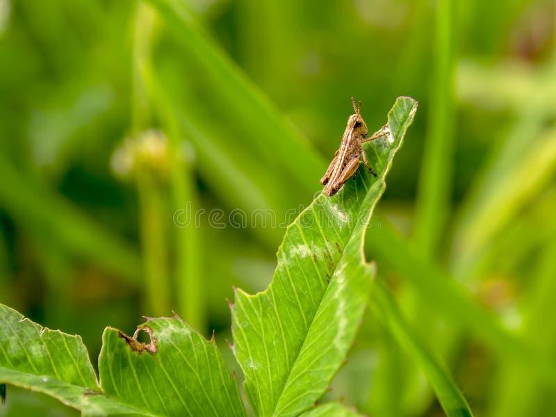 Liten brun gräshoppa som vilar på ett blad arkivfoton