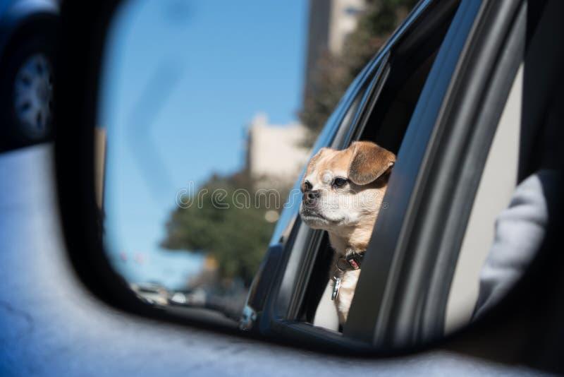 Liten brun hundridning i bil royaltyfri fotografi