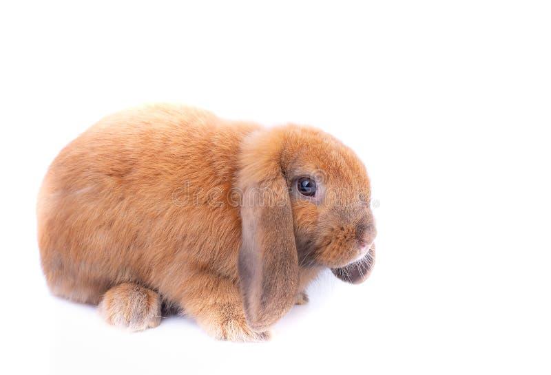 Liten brun kaninkanin med långa öron blir på vit bakgrund fotografering för bildbyråer