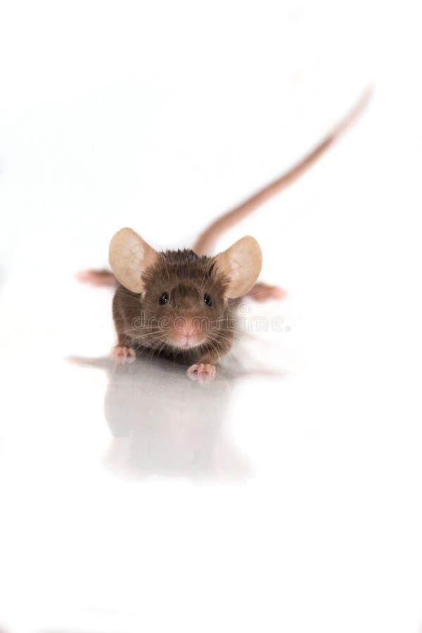 Liten brun mus på vit bakgrund royaltyfri fotografi