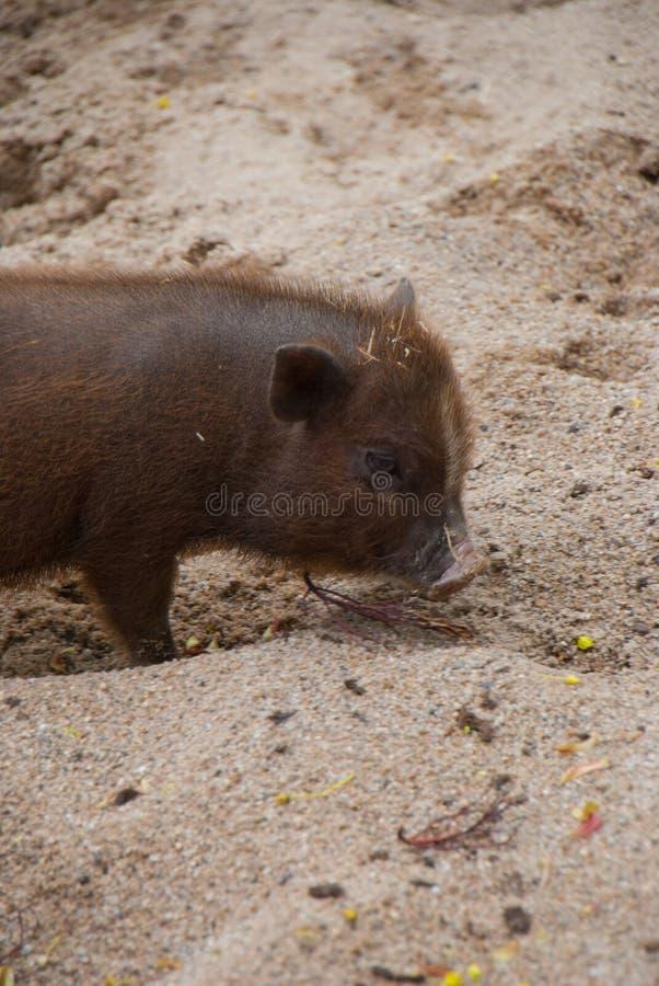 Liten brun spädgris som cutely sniffar runt om sanden royaltyfri bild