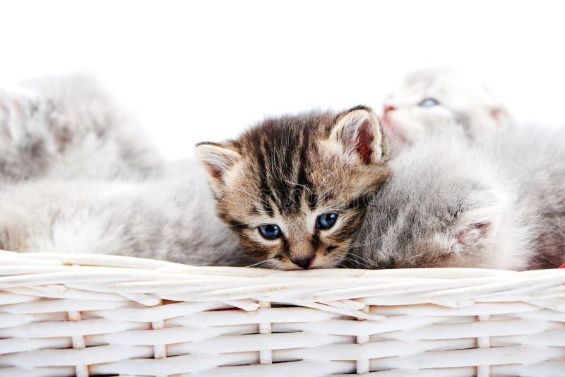 Liten brunt gjorde randig fluffigt blåögt kattungesammanträde bland andra gulliga gråa pott i den vita vide- korgen, medan posera royaltyfri foto